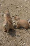 Gruppo di marmotta di prateria con coda nera - ludovicianus del Cynomys Immagine Stock
