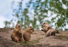 Gruppo di marmotte Fotografia Stock Libera da Diritti