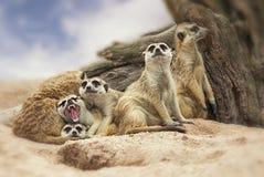 Gruppo di meerkat Fotografie Stock