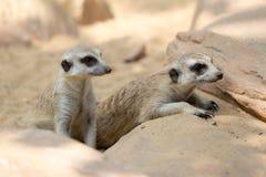 Gruppo di meerkat Immagini Stock Libere da Diritti