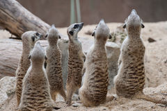 Gruppo di meerkat Immagine Stock