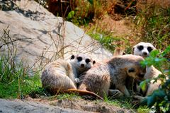 Gruppo di meerkats Fotografie Stock Libere da Diritti