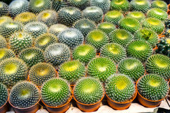 Gruppo di mini cactus Fotografia Stock Libera da Diritti