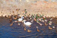 Gruppo di molti anatre e cigni nel fiume immagine stock libera da diritti