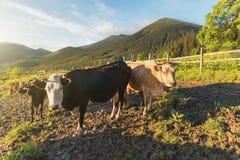 Gruppo di mucca nel paesino di montagna Fotografie Stock