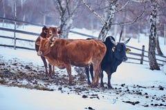 Gruppo di mucche fotografia stock