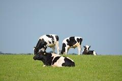 Gruppo di mucche in bianco e nero contro cielo blu Immagini Stock