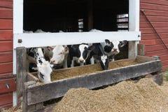 Gruppo di mucche che mangiano ad una depressione Fotografie Stock