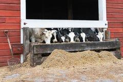 Gruppo di mucche che mangiano ad una depressione Fotografia Stock