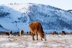 Gruppo di mucche che mangiano erba nell'inverno, fondo della valle della neve Fotografia Stock