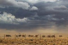 Gruppo di mucche che pascono con la tempesta di sabbia La Namibia, sossuvlei fotografia stock