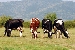 Gruppo di mucche che pascono su un campo Immagine Stock Libera da Diritti