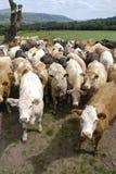 Gruppo di mucche minacciose Fotografia Stock Libera da Diritti
