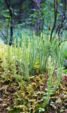 Gruppo di muschio delle piante (Lycopodium), primo piano Immagini Stock Libere da Diritti
