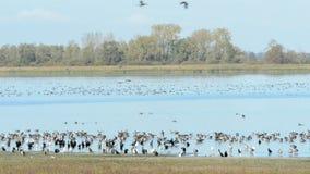 Gruppo di oca selvatica che vola e che riposa su un lago Stagione di migrazione di uccello di autunno nella regione di Havelland stock footage