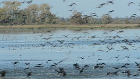 Gruppo di oca selvatica che vola e che riposa su un lago Stagione di migrazione di uccello di autunno nella regione di Havelland archivi video
