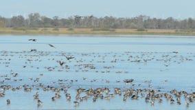 Gruppo di oca selvatica che vola e che riposa su un lago Stagione di migrazione di uccello di autunno nella regione di Havelland video d archivio