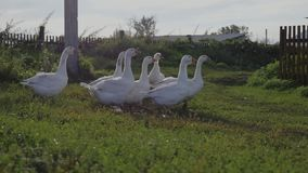 Gruppo di oche bianche dell'azienda agricola che camminano all'erba verde archivi video
