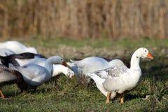 Gruppo di oche domestiche bianche e grige Fotografie Stock