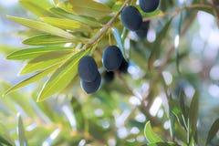 Gruppo di olive mature nere Fotografia Stock