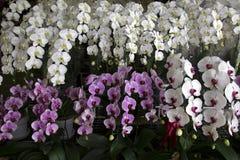 Gruppo di orchidea Immagine Stock Libera da Diritti