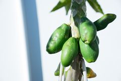 Gruppo di papaie verdi mature sull'albero fotografie stock