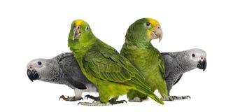 Gruppo di pappagalli Fotografia Stock