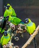 Gruppo di parrocchetti di Nanday insieme nell'uccelliera, animali domestici popolari dai pappagalli tropicali e variopinti dell'A fotografia stock