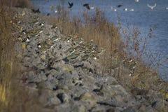 Gruppo di pavoncelle che riposano sulla diga di pietra prima della presa alle loro posizioni di soggiorno di inverno immagini stock