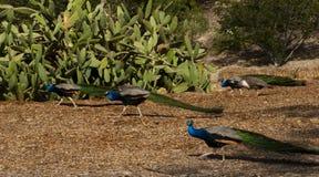 Gruppo di pavoni maschii Fotografie Stock