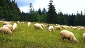 Gruppo di pecore stock footage