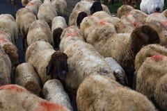 Gruppo di pecore Immagine Stock