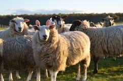Gruppo di pecore fotografia stock libera da diritti
