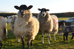 Gruppo di pecore fotografia stock