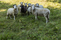 Gruppo di pecore Fotografie Stock