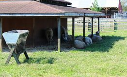 Gruppo di pecore fuori di un granaio fotografie stock libere da diritti