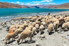 Gruppo di pecore nel lago di namtso Fotografie Stock