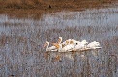 Gruppo di pellicani bianchi Fotografia Stock