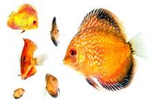 Gruppo di pesce dell'oro agli angoli differenti Immagini Stock Libere da Diritti