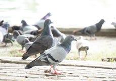 Gruppo di piccione Fotografie Stock Libere da Diritti