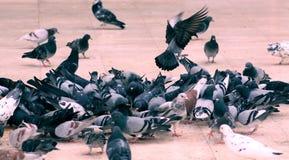 Gruppo di piccioni Fotografie Stock Libere da Diritti