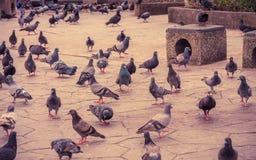 Gruppo di piccioni che camminano e che trovano alimento sulla via Immagine Stock Libera da Diritti