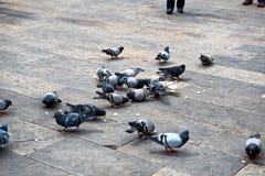 Gruppo di piccioni che mangiano pane rimanente Immagine Stock