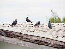 Gruppo di piccioni sul tetto sporco Fotografia Stock
