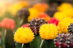 Gruppo di piccola pianta del cactus di colore nel vaso al giardino del cactus Th Fotografie Stock