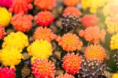 Gruppo di piccola pianta del cactus di colore nel vaso al giardino del cactus Th Fotografia Stock