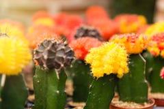 Gruppo di piccola pianta del cactus di colore nel vaso al giardino del cactus Th Fotografia Stock Libera da Diritti