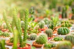 Gruppo di piccola pianta del cactus nel vaso al giardino del cactus thailand Fotografie Stock Libere da Diritti