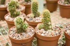 Gruppo di piccola pianta del cactus nel vaso al giardino del cactus thailand Immagine Stock