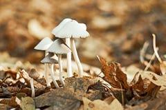 Gruppo di piccoli funghi bianchi Fotografie Stock Libere da Diritti
